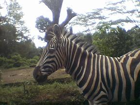 ~zebra peRtama ketemu~