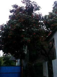 pohon rambutan